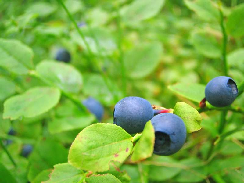 superfood Blaubeere