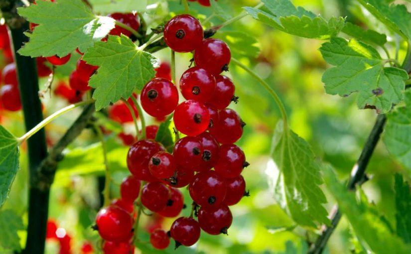 Rote Johannisbeeren – gesund und große Wirkung