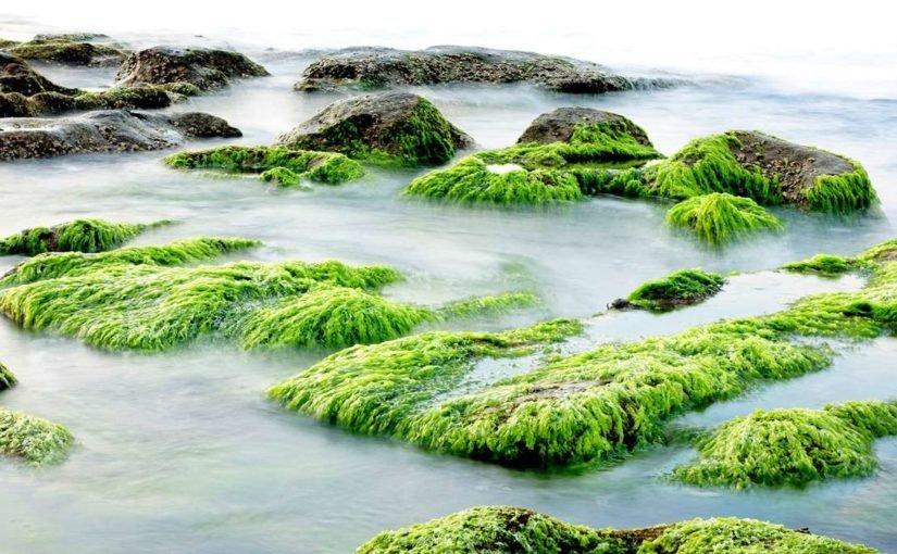Superfood Algen für die Gesundheit